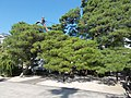 Pine trees in Shorinzen-ji.jpg