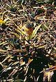Pineapple-phytophthora-1 (5688171527).jpg