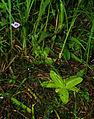 Pinguicula vulgaris subsp. bicolor - habitus.jpg