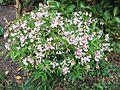 Pink-flowered cultivar, Lathyrus vernus 'Alboroseus'.jpg