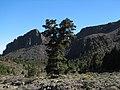 Pino destacado en el Valle de Ucanca. Protegido con ámbito insular en el Catálogo de Árboles Monumentales del Cabildo Insular de Tenerife. - panoramio.jpg