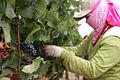 Pinot noir hand harvest.jpg