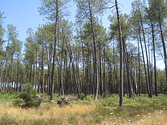 Landes de Gascogne Regional Natural Park - Maritime pine in the forest of Landes