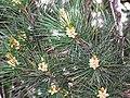 Pinus gerardiana India2.jpg