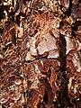 Pinus jeffreyi bark MtPinos.jpg