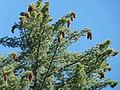 Pinus lambertiana tree top Sequoia NP.jpg