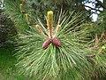 Pinus ponderosa subsp. ponderosa cones and shoots 1.JPG