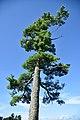 Pinus strobus (165858305).jpg