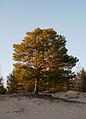 Pinus sylvestris in Yyteri.jpg