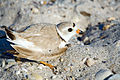 Piping plover2.jpg