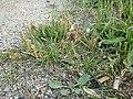 Plantago coronopus sl58.jpg