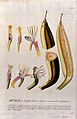 Plantain banana (Musa x paradisiaca L.); nine sections of fl Wellcome V0042994.jpg