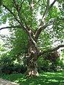 Platanus × acerifolia 02 by Line2.JPG