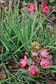 Plattfields pink flowers.jpg