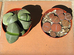 Pleiospilos bolusii and Lithops Hookerii.jpg