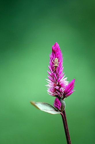Celosia argentea - Image: Plumed cockscomb (Celosia argentea)