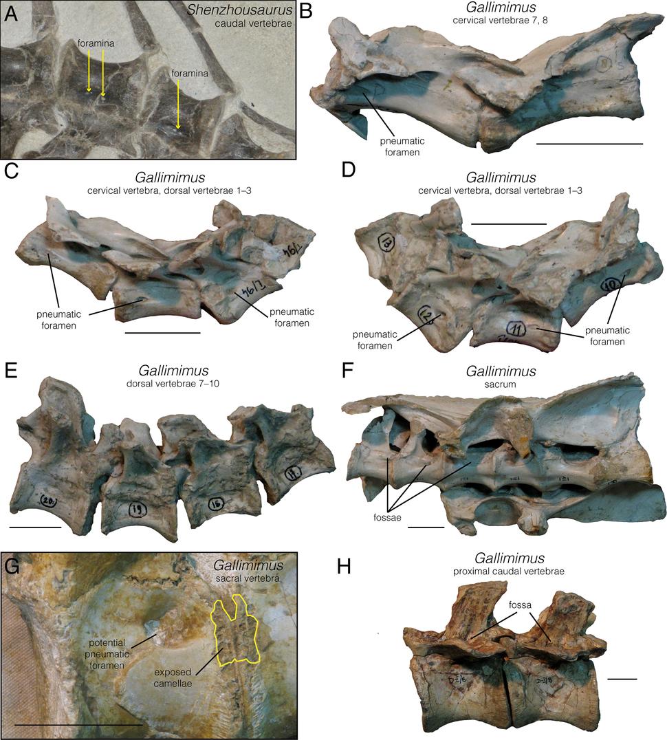 Pneumatic structures in Senzhousaurus and Gallimimus