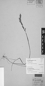 Poa scaberula Hook.f - photo of lectotype collection Poa conglomerata Rupr. ex Peyr. (Galeotti 5776) - PhytoKeys-015-001-g019.jpeg