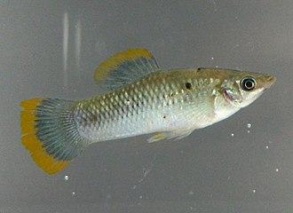 Poecilia sphenops - Male molly