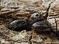 Poecilocampa populi (ova) - December moth (eggs) - Коконопряд тополёвый (яйца) (31642212647).jpg