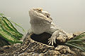 Pogona vitticeps with bulging neck.jpg