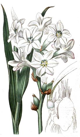 Polianthes tuberosa clean.jpg