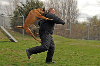 Police dog - A military police dog training.