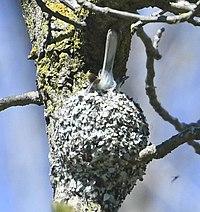 Polioptila caerulea Sam Smith Park nest.jpg