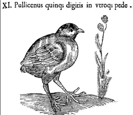 Wissenschaftsgeschichte der Polydaktylie - Wikiwand