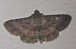 <i>Polydesma umbricola</i> Species of moth