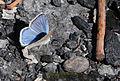 Polyommatus dorylas - Turquoise Blue butterfly 2.jpg