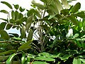 Polyscias hawaiensis (5209550691).jpg