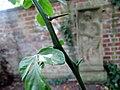 Poncirus trifoliata 01.jpg