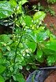 Poovankurunnal Cyanthillium cinereum .jpg