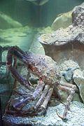 Porec aquarium IMG 8418 Macrocheira kaempferi.jpg