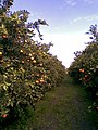 Portakal Bahçesi (Ahmet Elma) - panoramio (1).jpg