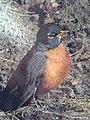 Portrait Of A Robin (254781959).jpeg