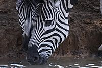 Portrait of two zebras drinking 2 (6073680168).jpg