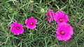 Portulaca grandiflora-4-ladyseat road-yercaud-salem-India.JPG