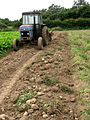 Potato crop - geograph.org.uk - 529113.jpg