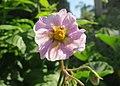 Potato flower (18930855246).jpg