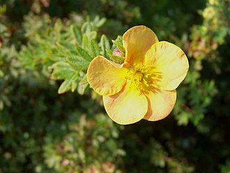 Dasiphora fruticosa - A cultivar with orangey flowers