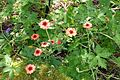 Potentilla nepalensis - VanDusen Botanical Garden - Vancouver, BC - DSC07128.jpg