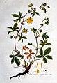 Potentilla reptans — Flora Batava — Volume v1.jpg