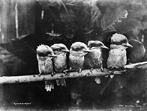 Powerhouse Museum - Kookaburras from Tyrrell Photographic Collection