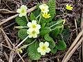 Primrose plant - geograph.org.uk - 769816.jpg