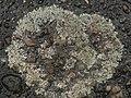 Protoparmeliopsis muralis 126686553.jpg