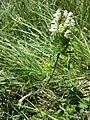 Prunella laciniata sl15.jpg