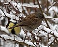 Prunella modularis -West Bromwich, England -snow-8a.jpg