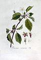 Prunus avium — Flora Batava — Volume v3.jpg